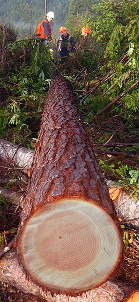 Felled Tree Cross Section